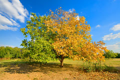 Half yellow and half green tree Royalty Free Stock Photography