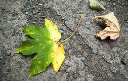 A half-yellow maple leaf. Autumn. Stock Photography