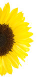 Half of yellow sunflower Stock Photography