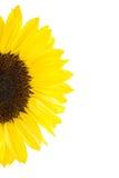 Half of yellow sunflower Stock Photography