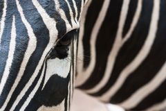 Half a zebra Royalty Free Stock Photography