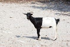Half zwarte geit stock foto