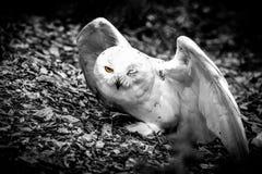 Halfblind snow owl stock images