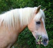 Halflinger ponny Royaltyfri Bild