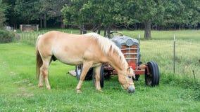 Halflingerpaard die Gras eten door een Oude Tractor Stock Foto's