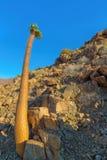 Halfmens träd i Richtersveld Royaltyfri Fotografi