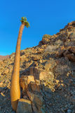 Halfmens Tree in Richtersveld Royalty Free Stock Photography