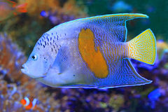 Halfmoon angelfish. (Pomacanthus maculosus) in Japan royalty free stock images