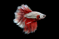 Halfmoon Betta. Halfmoon  Betta on black background. Beautiful fish. Swimming flutter tail flutter Royalty Free Stock Photo