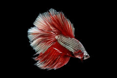 Halfmoon Betta. Halfmoon  Betta on black background. Beautiful fish. Swimming flutter tail flutter Royalty Free Stock Photos