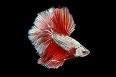 Halfmoon Betta. Halfmoon  Betta on black background. Beautiful fish. Swimming flutter tail flutter Stock Image