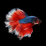 Halfmoon Betta. Halfmoon  Betta on black background. Beautiful fish. Swimming flutter tail flutter Stock Photos