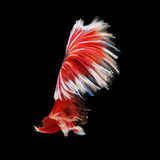 Halfmoon Betta. Halfmoon  Betta on black background. Beautiful fish. Swimming flutter tail flutter Royalty Free Stock Photography