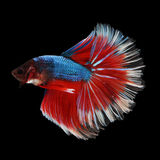 Halfmoon Betta. Halfmoon  Betta on black background. Beautiful fish. Swimming flutter tail flutter Stock Images