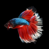 Halfmoon Betta. Halfmoon  Betta on black background. Beautiful fish. Swimming flutter tail flutter Royalty Free Stock Image