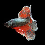 Halfmoon Betta on black background. Beautiful fish. Swimming flutter tail flutter Stock Photography