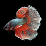 Halfmoon Betta on black background. Beautiful fish. Swimming flutter tail flutter Stock Image