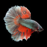 Halfmoon Betta on black background. Beautiful fish. Swimming flutter tail flutter Stock Photos