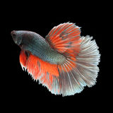 Halfmoon Betta on black background. Beautiful fish. Swimming flutter tail flutter Royalty Free Stock Image