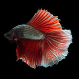 Halfmoon Betta on black background. Beautiful fish. Swimming flutter tail flutter Stock Photo