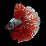 Halfmoon Betta on black background. Beautiful fish. Swimming flutter tail flutter Royalty Free Stock Photos