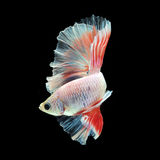 Halfmoon Betta  on black background. Halfmoon Betta on black background. Beautiful fish. Swimming flutter tail flutter Stock Images