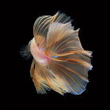 Halfmoon Betta on black background. Beautiful fish. Swimming flutter tail flutter Royalty Free Stock Images
