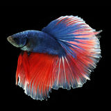 Halfmoon Betta on black background. Beautiful fish. Swimming flutter tail flutter Stock Images