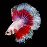 Halfmoon Betta on black background. Beautiful fish. Swimming flutter tail flutter. Royalty Free Stock Images