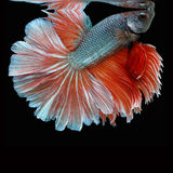 Halfmoon Betta on black background. Beautiful fish. Swimming flutter tail flutter. Royalty Free Stock Photography