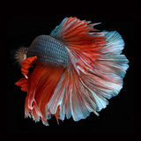 Halfmoon Betta on black background. Beautiful fish. Swimming flutter tail flutter. Stock Photo