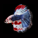 Halfmoon Betta on black background. Beautiful fish. Swimming flutter tail flutter. Royalty Free Stock Photo