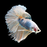 Halfmoon Betta on black background. Beautiful fish. Swimming flutter tail flutter. Stock Photos