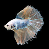 Halfmoon Betta on black background. Beautiful fish. Swimming flutter tail flutter. Royalty Free Stock Photos