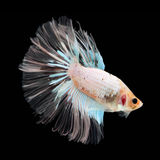 Halfmoon Betta on black background. Beautiful fish. Swimming flutter tail flutter. Royalty Free Stock Image