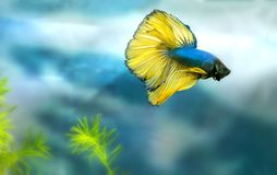 Halfmoon betta Colorful swimming in fish tank. This is a species of ornamental fish used to decorate the scene in the house royalty free stock images
