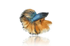 Halfmoon betta fighting fish Royalty Free Stock Image