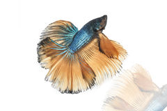 Halfmoon betta fighting fish. On white background Royalty Free Stock Image