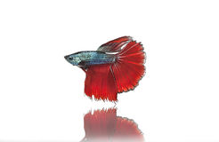 Halfmoon betta fighting fish. On a white background. .etc Stock Photo