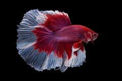 Halfmoon Betta Fish Royalty Free Stock Photos