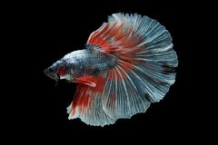 Halfmoon Betta Fish Stock Photo
