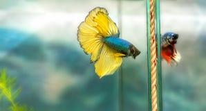 Halfmoon betta Kolorowy dopłynięcie w rybim zbiorniku Zdjęcie Royalty Free
