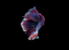 Halfmoon Betta splendens or siamese fighting fish isolated Royalty Free Stock Photos