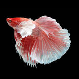 Halfmoon Dumbo Betta. On black background. Beautiful fish. Swimming flutter tail flutter Stock Images