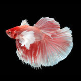 Halfmoon Dumbo Betta. On black background. Beautiful fish. Swimming flutter tail flutter Stock Image
