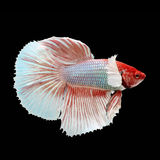 Halfmoon Dumbo Betta. On black background. Beautiful fish. Swimming flutter tail flutter Royalty Free Stock Photos