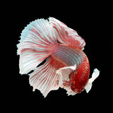 Halfmoon Dumbo Betta. On black background. Beautiful fish. Swimming flutter tail flutter Royalty Free Stock Photography