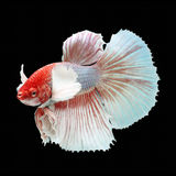 Halfmoon Dumbo Betta. On black background. Beautiful fish. Swimming flutter tail flutter Stock Photos