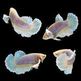 Halfmoon Dumbo Betta Female. On black background. Beautiful fish. Swimming flutter tail flutter Stock Photo
