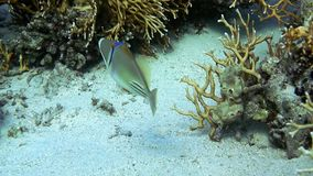 Halfmoon picassofish Rhinecanthus lunula swimming underwater in Red Sea. stock video footage